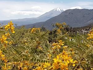 Gele bloem met bergen (2)
