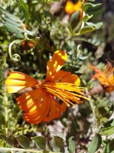 Oranje bloem (2)